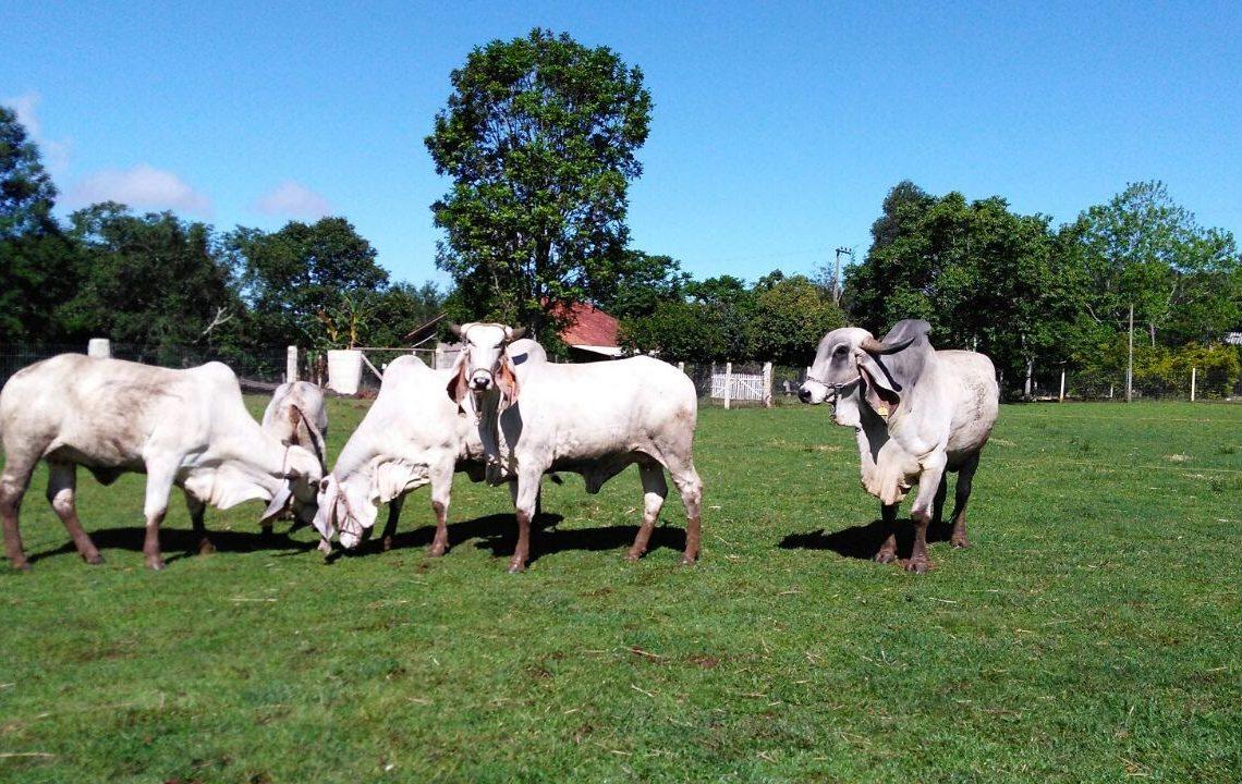 Os bovinos são criados tanto para o abate, quanto para a produção de leite  Fotos: Arquivo Pessoal