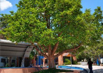 Árvore no centro da cidade é histórica e chama atenção dos visitantes do espaço  Fotos: Júnior Ribeiro.