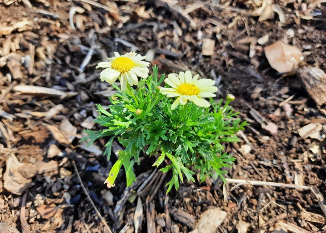 Margarida é uma das plantas escolhidas para compor o novo modelo de jardim campobonense Fotos: Henrique Ternus