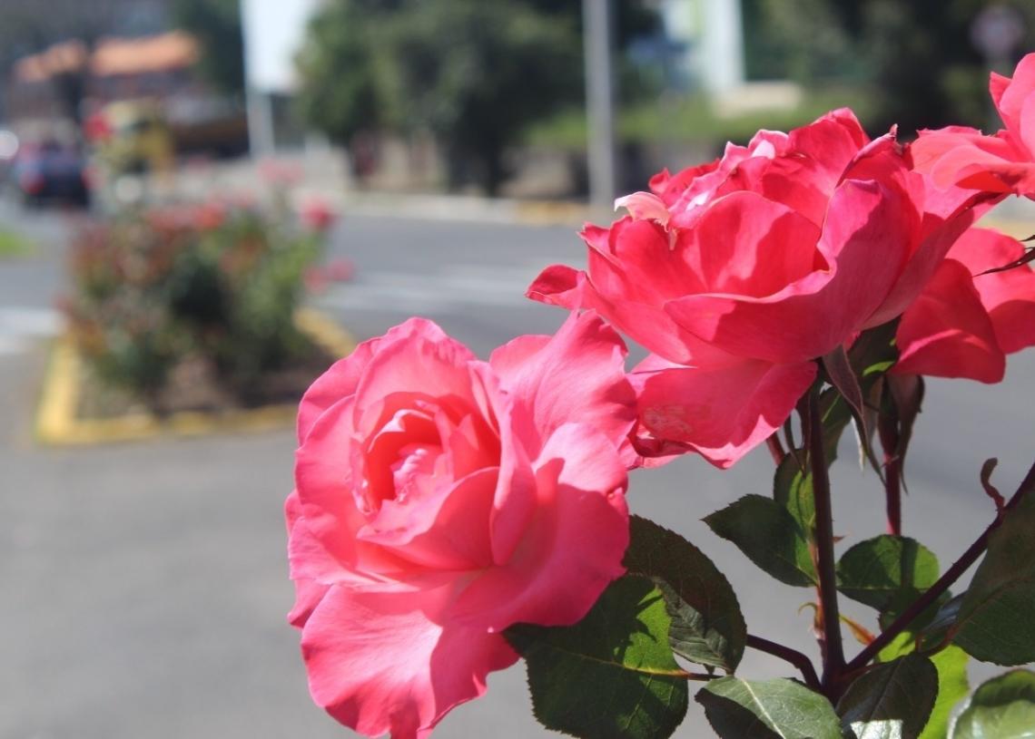 A flor-símbolo que embeleza e dá vida a diversos pontos do município de Sapiranga (Foto: Melissa Costa)