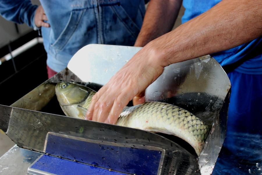 Últimos dias para garantir os peixes de produtores locais para a Sexta-feira Santa - Foto: Prefeitura de Sapiranga